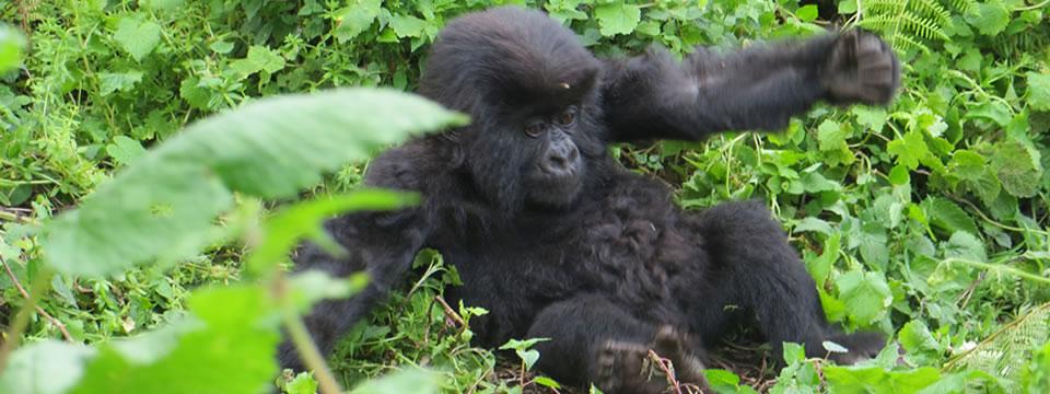 gorilla-trip