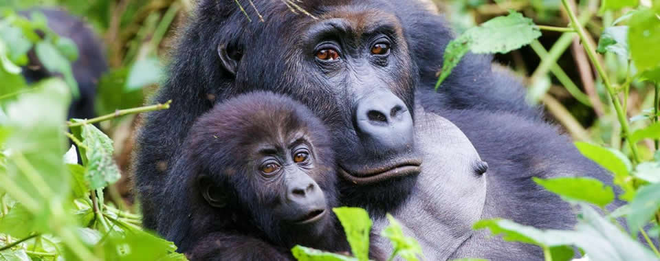 Gorilla-Watching