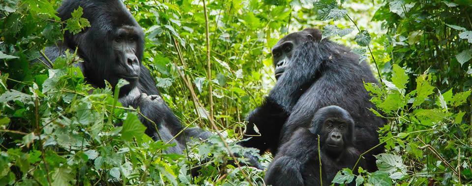 Gorilla-famil-Banner