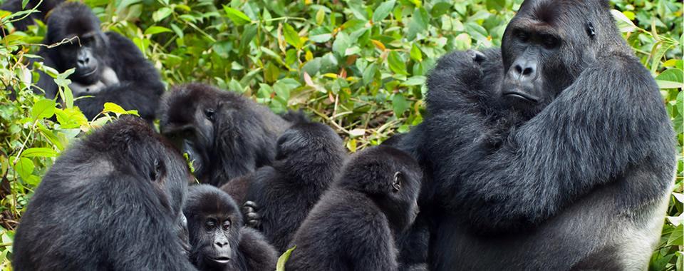 Gorilla-families